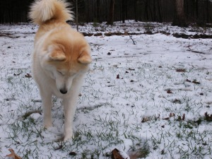 Chuckie's first snow romp, Christmas time 2010.